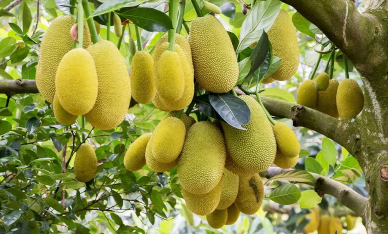 jack 780x470 - Why Jackfruit Is Starting To Develop Into a Items Which are Stylish