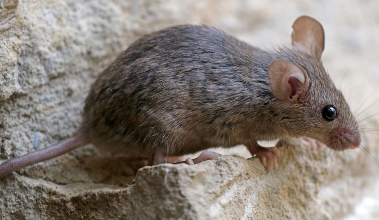 03mouse 780x454 - Mouse Research Reveals 'Chaperone Necessary Protein' Shields Against Autoimmune Conditions