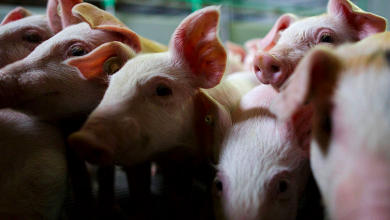Photo of Producers State They May Need To Kill And Discard Child Pigs As Slaughterhouses Near And  The Areas Face Shedding $5 Billion